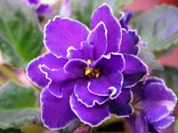 Язык цветов фиалка